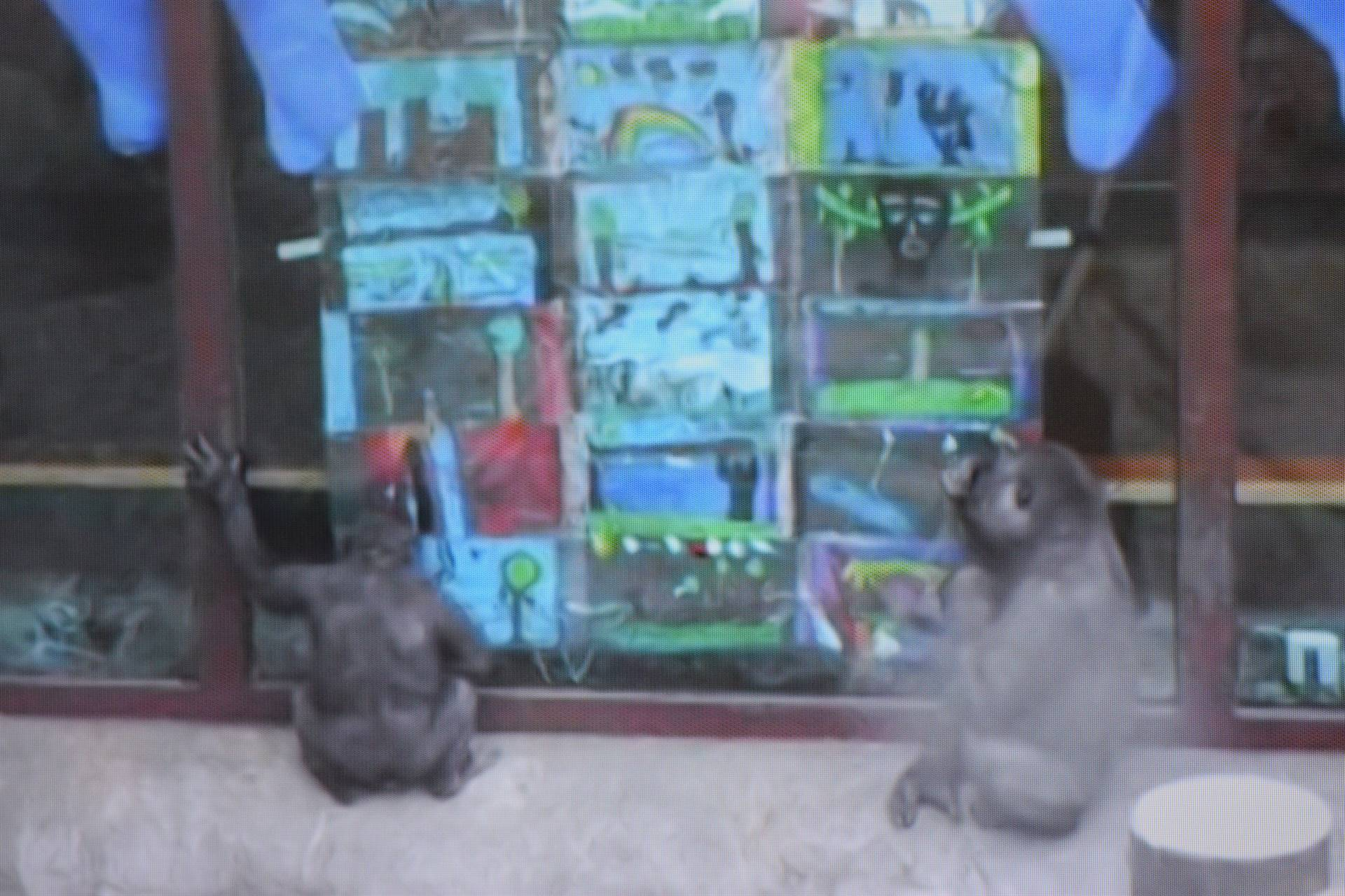 Two young gorillas look closely at three rows hung with student artwork on the window of their zoo e