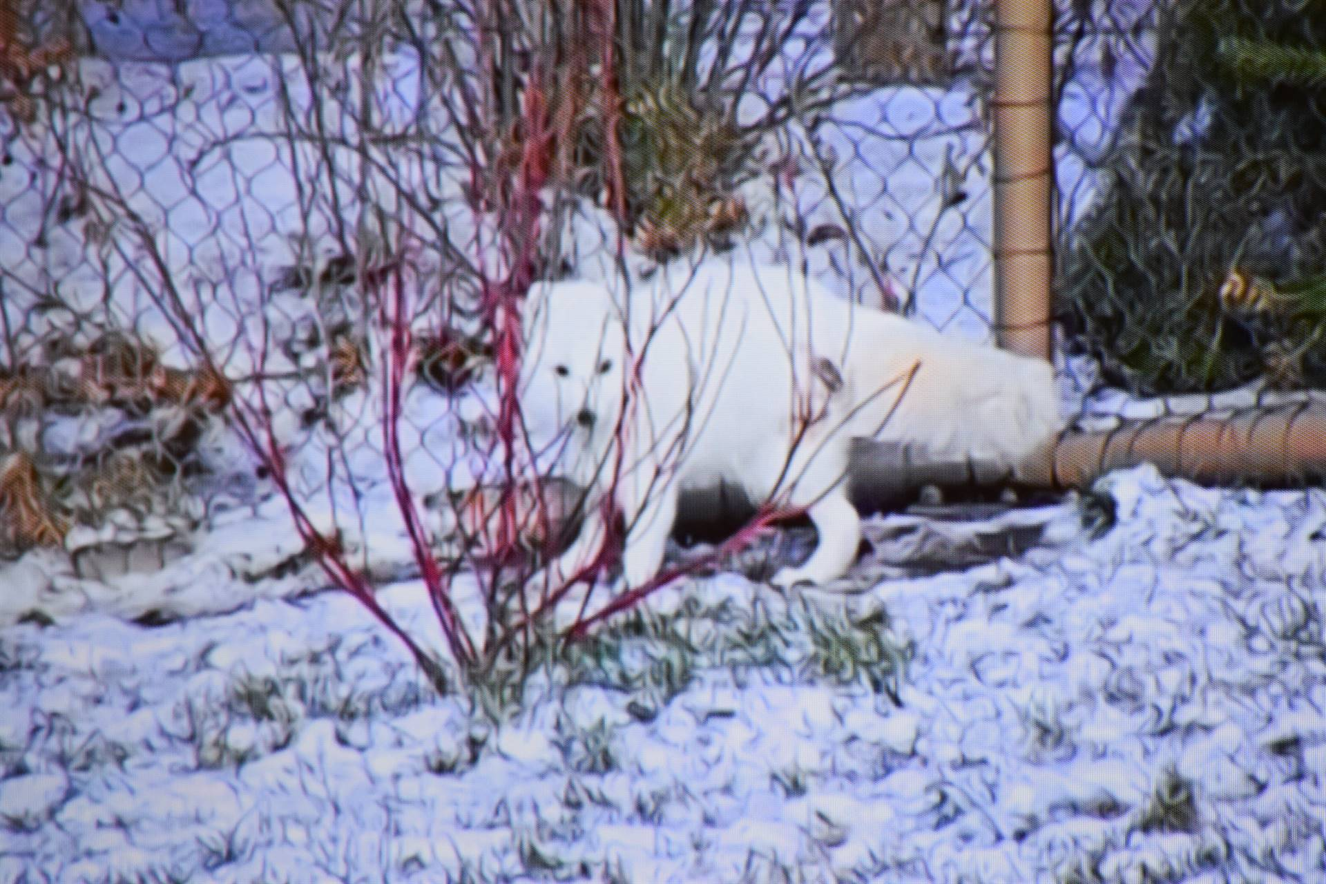 White Arctic fox between a zoo fence and a plant with leafless red branches